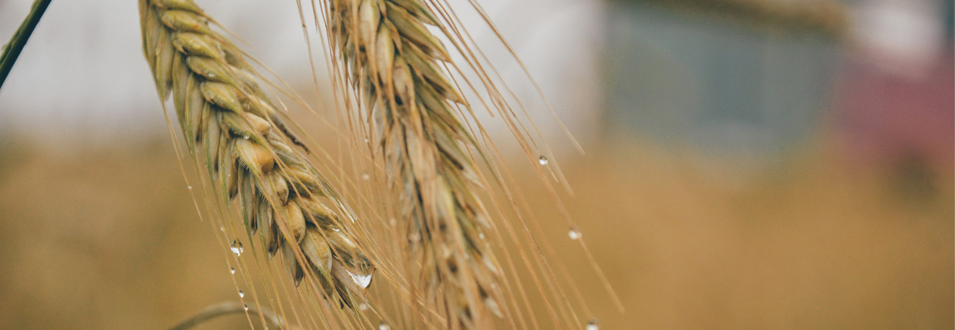 Two pieces of straw with rain drops